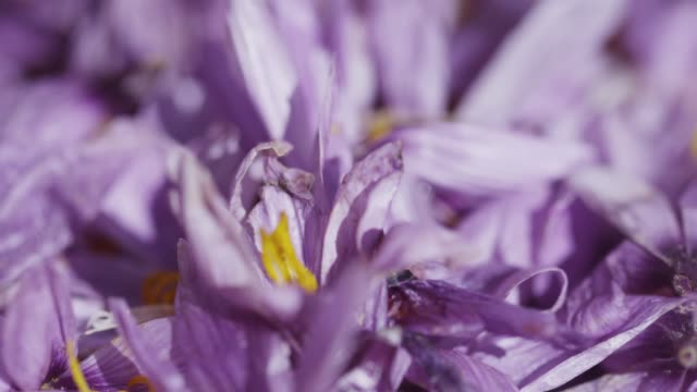 saffron petal and saffron flower in taliouine, morocco - 雌しべ点の映像素材/bロール