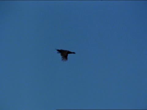 sage grouse flying begins decent falcon strikes from behind taking bird down raptor raptors birds of prey predator - bird of prey stock videos & royalty-free footage