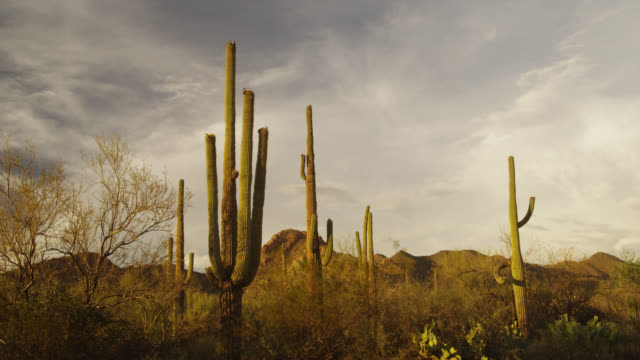 Saguaro Cacti (Carnegiea gigantea) in Saguaro National Park, Arizona, United States