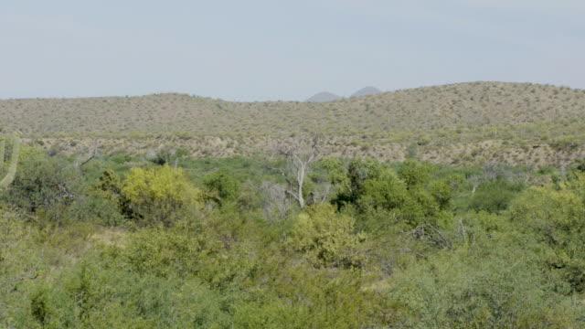 saguaro cactus among bushes - saguaro cactus stock videos & royalty-free footage
