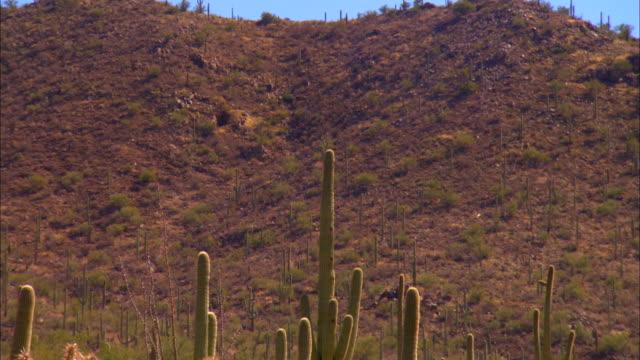ms, saguaro cactus and cholla cactus on desert, tucson,  arizona, usa - saguaro cactus stock videos & royalty-free footage