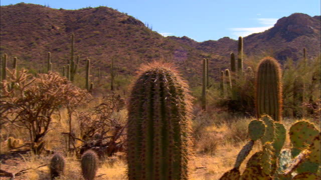 MS, PAN, Saguaro cactus and cholla cactus on desert, Tucson,  Arizona, USA
