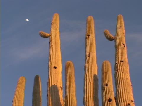 saguaro cactus and moon - saguaro cactus stock videos & royalty-free footage