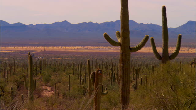 ws, saguaro cactus and mountain range in background, tucson,  arizona, usa - cactus video stock e b–roll