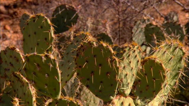cu, zo, ws, saguaro cactus and prickly pear cactus on desert, tucson,  arizona, usa - prickly pear cactus stock videos & royalty-free footage
