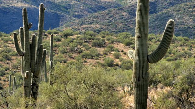 saguaro cactus desert, tucson, arizona - arizona stock videos & royalty-free footage