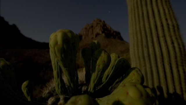 saguaro cactus flowers open as day breaks over the sonoran desert. available in hd. - flowering cactus stock videos & royalty-free footage