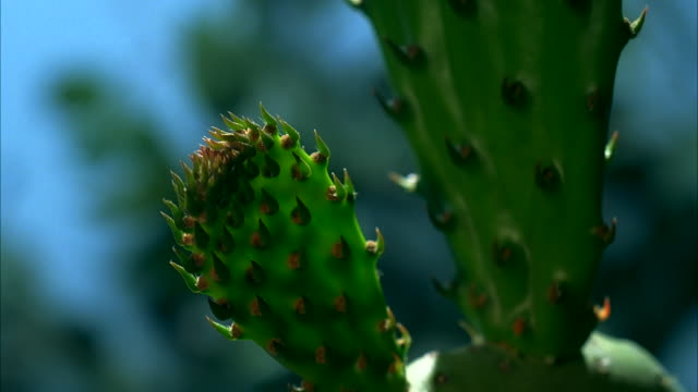 A Saguaro cactus grows. Available in HD.
