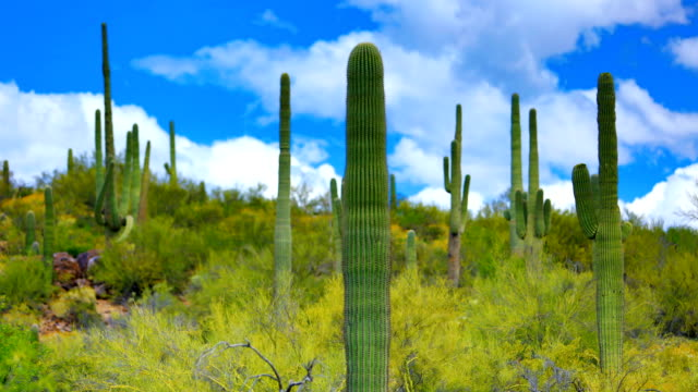 saguaro cactus habitat - cactus video stock e b–roll