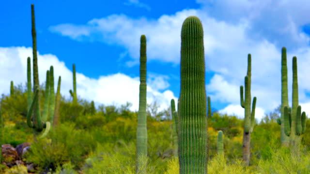vídeos y material grabado en eventos de stock de saguaro cactus hábitat - cactus saguaro
