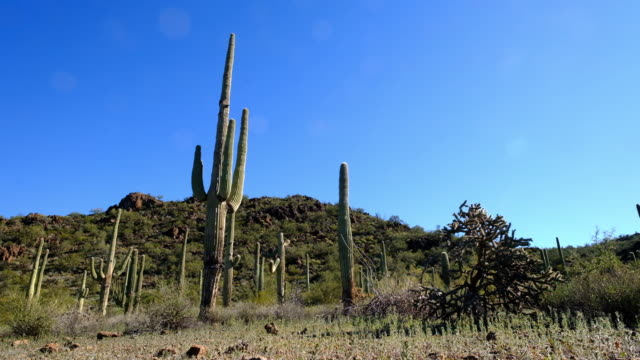 Saguaro cactus in a desert scene in Organ Pipe National Monument