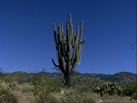 saguaro cactus in desert, mountain range in background, blue sky, usa - saguaro cactus stock videos & royalty-free footage