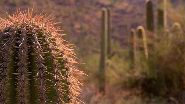vídeos y material grabado en eventos de stock de ms, r/f, saguaro cactus on desert, tucson,  arizona, usa - cactus saguaro