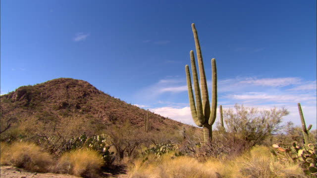 stockvideo's en b-roll-footage met ws, saguaro cactus on desert, tucson,  arizona, usa - cactus