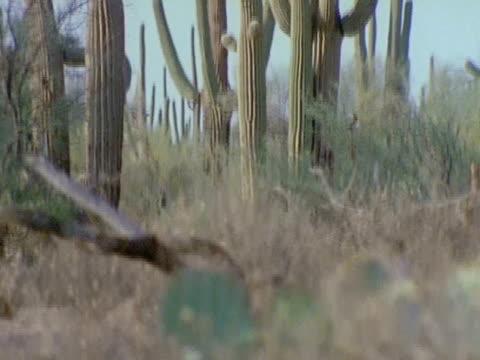 saguaro cactus plants rise high above the rocky desert floor - saguaro cactus stock videos & royalty-free footage
