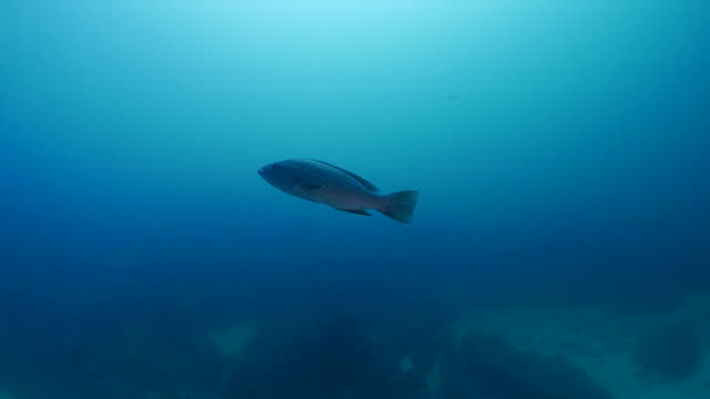 sailfin grouper fish (mycteroperca olfax) undersea - sea bass stock videos & royalty-free footage