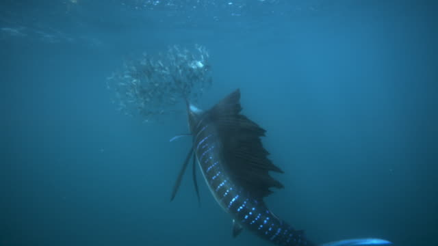 slomo sailfish hunting sardines, mexico - saltwater fish stock videos & royalty-free footage