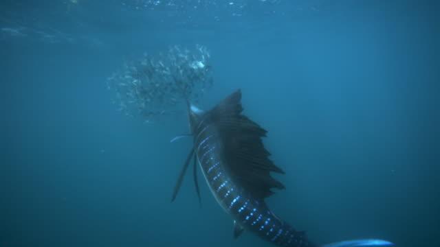 slomo sailfish hunting sardines, mexico - mexico stock videos & royalty-free footage