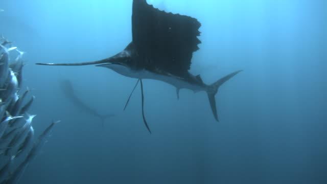 slomo sailfish hunting sardines, mexico - bait ball stock videos & royalty-free footage