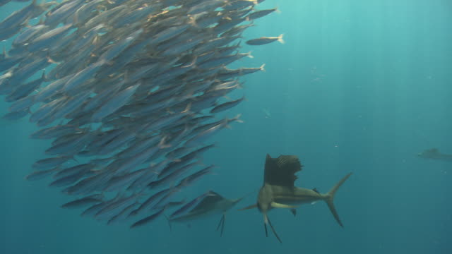ms ts sailfish schooling to hunt bait ball / playa del carmen, isla mujeres, mexico - fischschwarm stock-videos und b-roll-filmmaterial