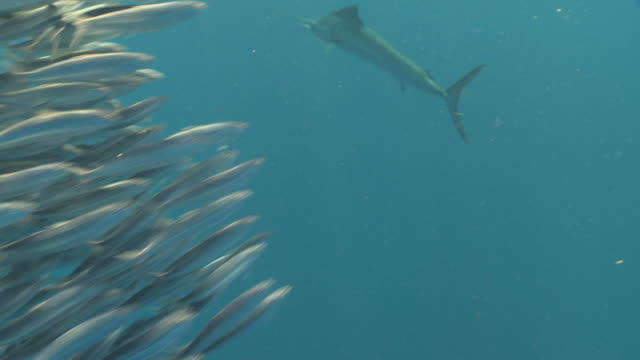 MS Sailfish schooling to hunt bait ball / Playa del Carmen, Isla Mujeres, Mexico