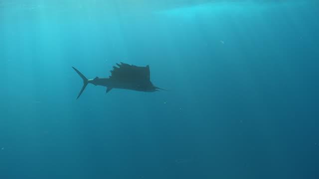 MS TS Sailfish schooling to hunt bait ball / Playa del Carmen, Isla Mujeres, Mexico