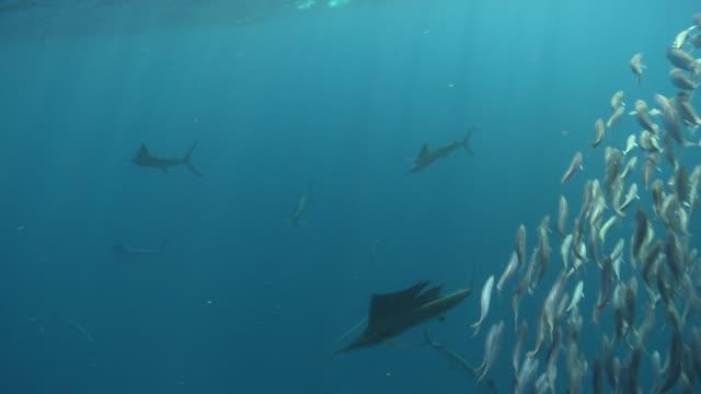 ms ts sailfish schooling to hunt bait ball / playa del carmen, isla mujeres, mexico - salt water fish stock videos & royalty-free footage