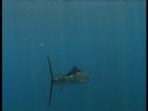 vídeos de stock e filmes b-roll de sailfish swims from camera, panama - barbatana dorsal