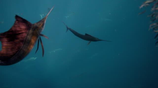 sailfish with sardine baitball - bait ball stock videos & royalty-free footage
