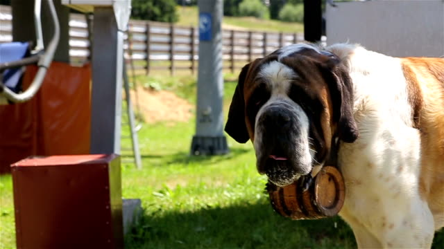 saint bernard dog - canine stock videos & royalty-free footage