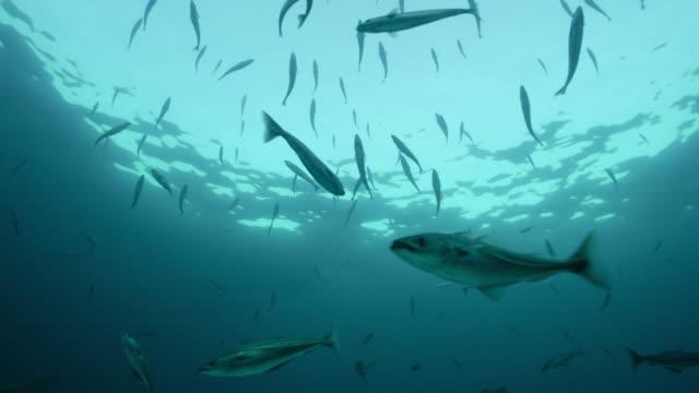 "stockvideo's en b-roll-footage met saithe fish swim in blue ocean, norway - ""bbc natural history"""