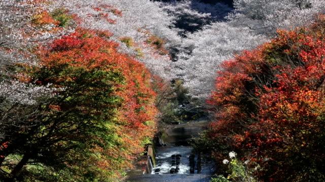 sakura blooms obara - natural condition stock videos and b-roll footage