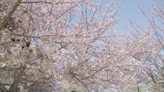 sakura cherry blossom trees - kamerafahrt mit dolly stock-videos und b-roll-filmmaterial
