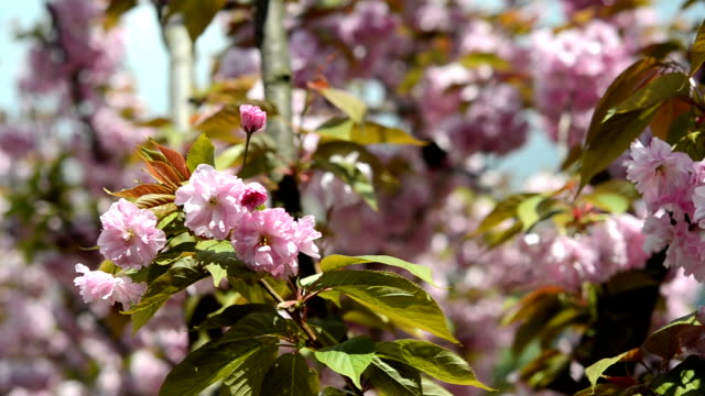 sakura cherry blossom - bud stock videos & royalty-free footage