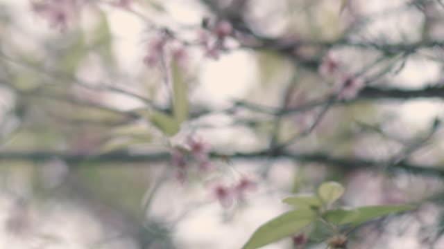 Sakura, ciliegio fiore