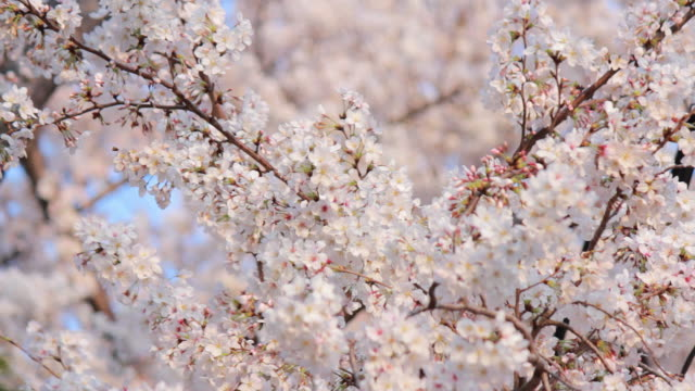 Sakura, cherry blossoms, spring.