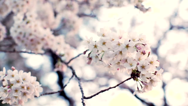 sakura, cherry blossoms, spring. - pastel colored stock videos & royalty-free footage