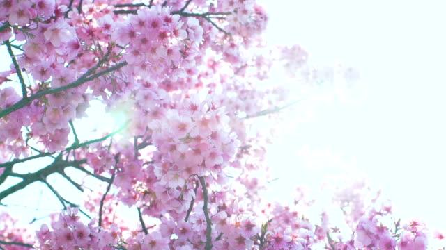 Sakura, kersenbloesem, lente.