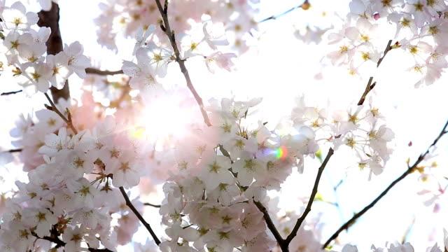 vídeos de stock e filmes b-roll de hd: sakura cereja flores com raio de sol - hd format