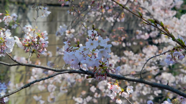 Sakura Japanse kersenbloesem met roze bloemen