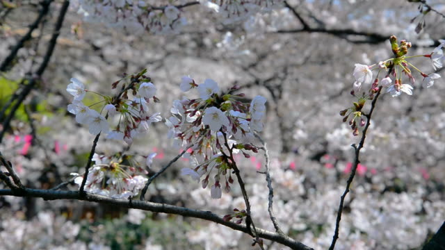 sakura japanese cherry blossoms with pink flowers - great white cherry stock videos & royalty-free footage