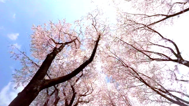 Sakura  - look up at the sky