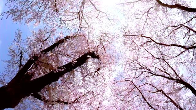 桜-スタイルでスカイ - 桜の花点の映像素材/bロール
