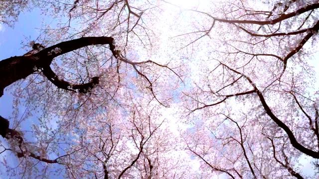 sakura-guardare il cielo - primavera video stock e b–roll