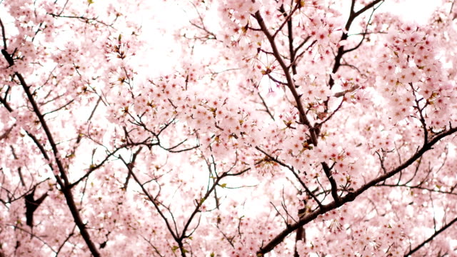 sakura or cherry blossom in springtime - springtime stock videos & royalty-free footage
