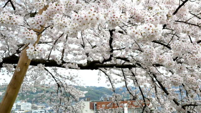 sakura or cherry blossom in springtime - ishikawa prefecture stock videos and b-roll footage