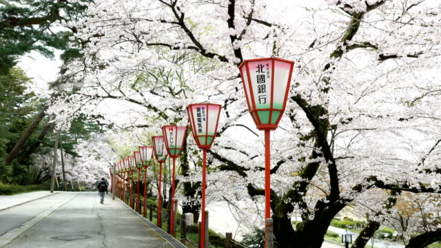 sakura or cherry blossom in springtime - kanazawa stock videos and b-roll footage