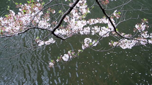 た桜の花びら - 花びら点の映像素材/bロール