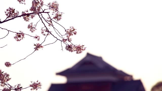 さくら春の花。満開の桜の木と美しい自然シーン - 枝点の映像素材/bロール