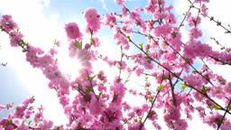 Sakura spring flowers. Spring blossom pink background.